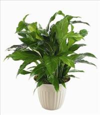 """Peace Lily"" Spathiphyllum Plant by McAdams Floral, Victoria