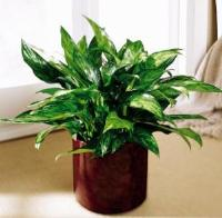 Chinese Evergreen by McAdams Floral, Victoria|Cuero|Goliad|Edna|Port Lavaca, Texas (TX)  Funeral Florist